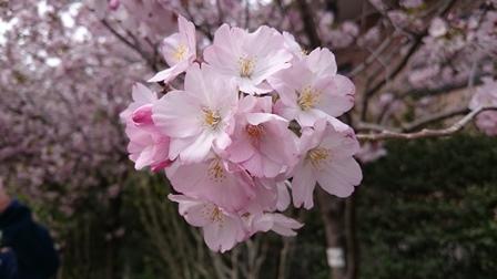 京王フラワーガーデンの桜