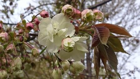 立川のウコンの桜