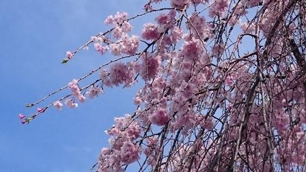 小平薬草園のしだれ桜