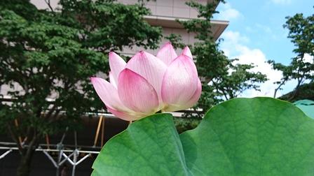 立川の蓮の花